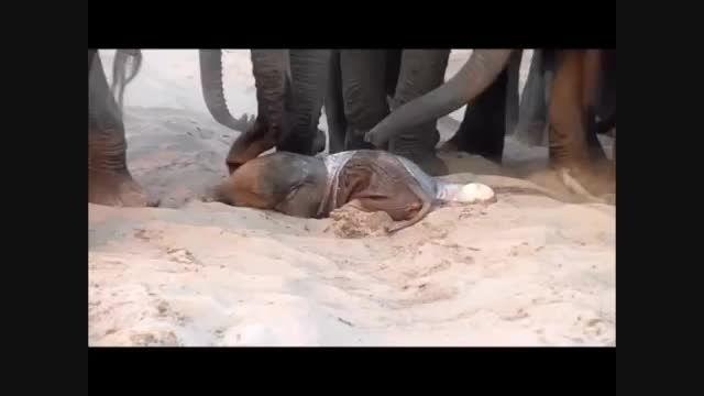 بدنیا آمدن فیل جدید و همکاری فیل ها
