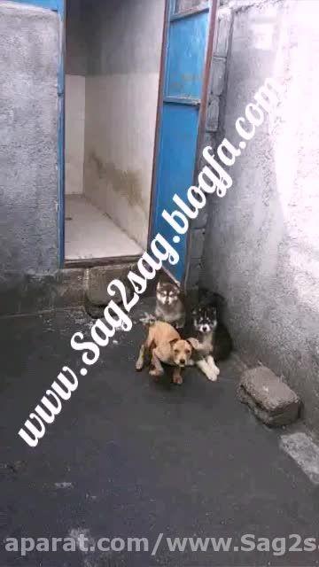 پرورش سگ گارد و نگهبان 09130780428 یعقوبی