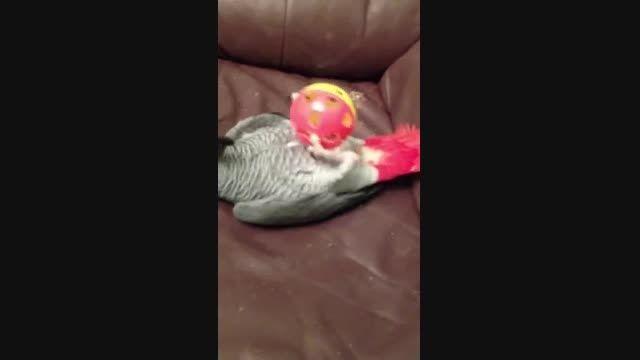 بازی کاسکو با توپ مخصوص طوطی سانان