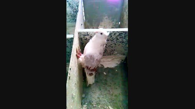 کبوتران فروشی