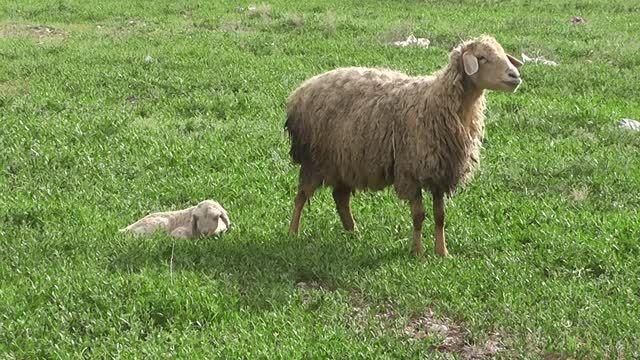 گوسفند و بره اش