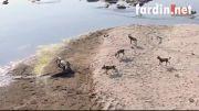 باج گیری از سگ های وحشی (کروکودیل نیل vs سگ وحشی)
