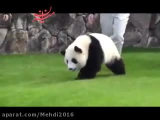 فرار پاندا بازیگوش از دست ماموران باغ وحش :))