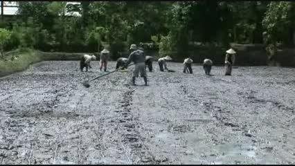 مجید ارگانیک کشت برنج به روش(3)  SIR