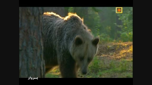 شکار ماهی توسط عقاب و سهم خرس ها از این شکار