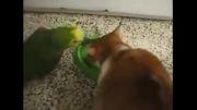 طوطی سر به سر گربه میزاره !!!
