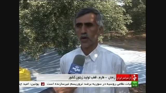 طارم زنجان قطب تولید زیتون در منطقه آذربایجان و کشور