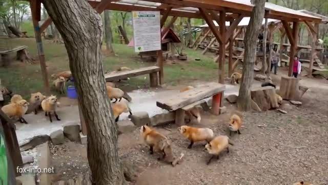 دهکده روباه ها در ژاپن