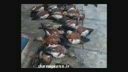 دریاچه اورمیه دیگر برای پرندگان مهاجر امن نیست