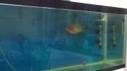 بیماری اسیب کیسه هوای ماهی 3