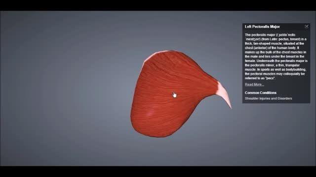 MedHub: عضلات ناحیه پکتورال Pectoral muscles