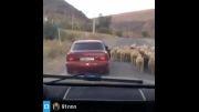 گرفتن  گوسفند در خیابان درحالی که در ماشین درحال  حرکت