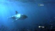 نبرد کوسه با نهنگ قاتل