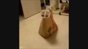 گیر افتادن گربه در پاکت کاغذی