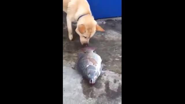 تلاش سگ برای زنده ماندن ماهی ها.بازم معرفت سگ...