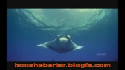مانتا سلطان دریا - نمایشی از قدرت خدا-پرواز در دریا