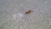 جنگ خرمگس با زنبور عسل !!!!!!!!!!!