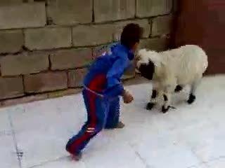 ترس از گوسفند  -- گوسفند سمج