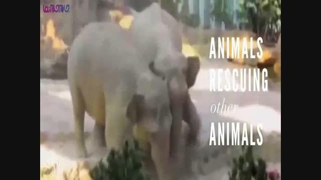 کمک حیوانات و جانوران به یکدیگر+فیلک ویدیو کلیپ جالب