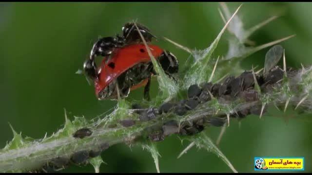همزیستی شته با مورچه {درس 12 ـ علوم ششم ابتدایی} - HD
