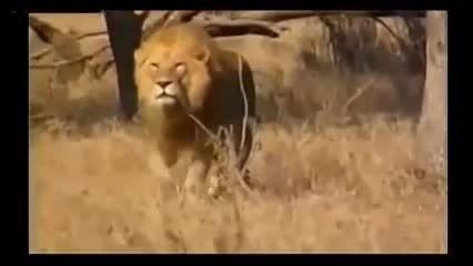 مستند 10 حمله شیر در حیات وحش(فوق العاده دیدنی)