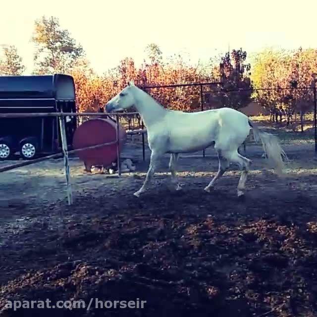 اسب ترکمن آخال تکه