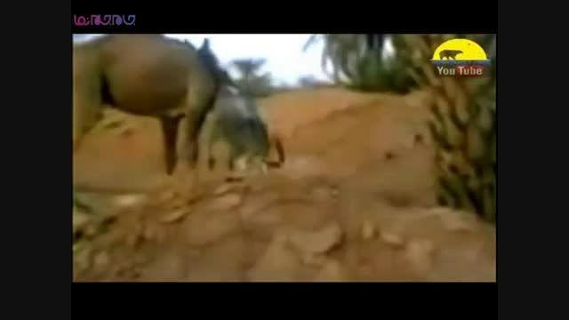 نبرد جانوران+فیلم ویدیو کلیپ درگیری جنگ دعوای حیوانات