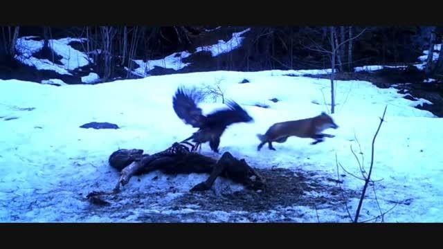 نبرد عقاب طلایی با روباه بر سر لاشه گوزن