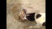 کشتن گرگ توسط سگ گله