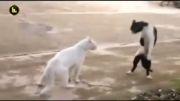 گربه کاراته کار
