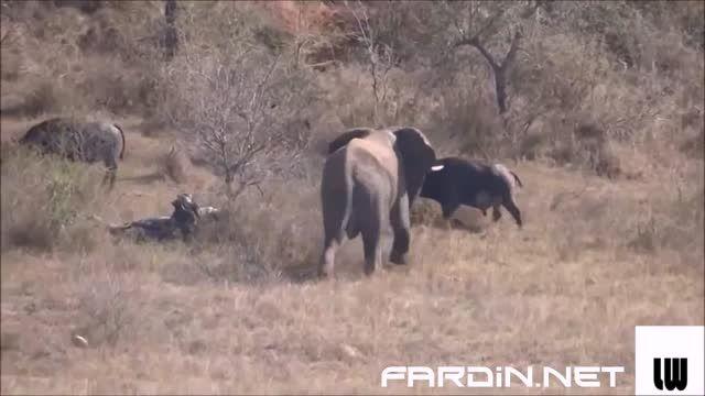 جاهل بازی بوفالو در برابر فیل