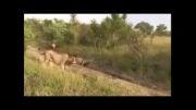 مرگ شیر شاه