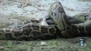 شکار تمساح توسط مار  پیتون