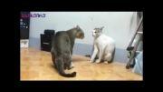 دعوای خیلی خیلی باحال دو گربه...(خیلی جالب)