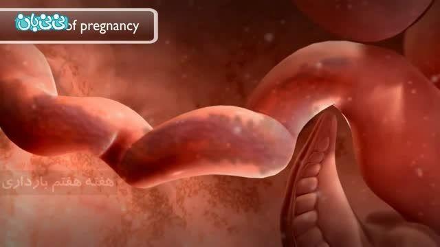 هفته هفتم بارداری