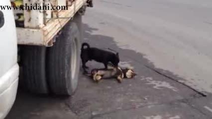 تلاش یک سگ برای نجات سگ مرده