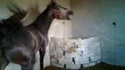 اسب پر خون و سرو دم گیر نام :قیرآت.......09144817102