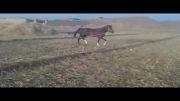 اسب کرنگ فروشی 09139616757.09132601657