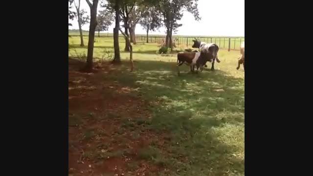 کشته شدن گاو توسط گوسفند خشمگین خخخخ
