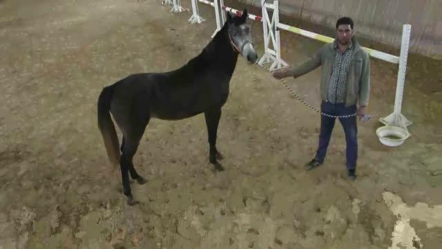 فروش اسب پرشی گگ قوش