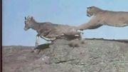 شکار بز کوهی توسط شیر کوهی