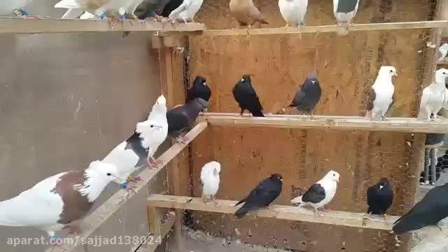کبوتران ایرانی نقش در خارج از کشور