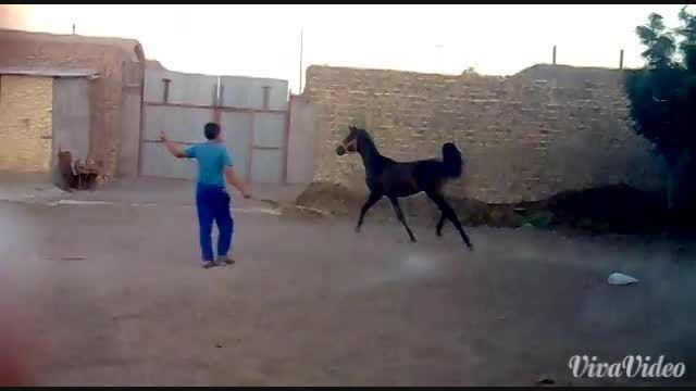 اسب مادیان کره عقرب رفسنجان در سن 9 ماهگی