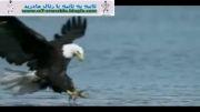 لحظه های دیدنی از شکار یک عقاب !!!