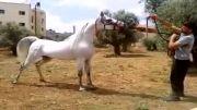 اسب عرب خوش استیل