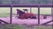 سوء استفاده بزغاله های شیطون از اسب!...
