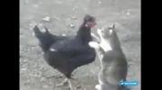 عشق گربه به مرغ سیاه