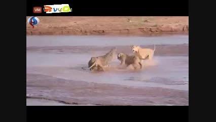 جدال تماشایی سه شیر و یک تمساح (راند وان)