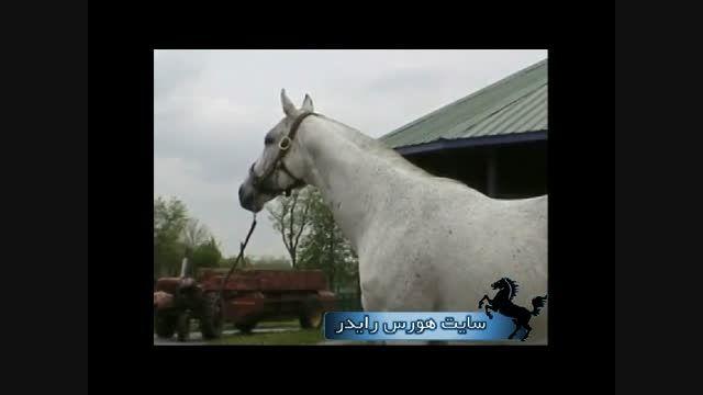 مشخصات نژاد اسب تروبرد (با توضیحات فارسی)