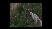 مهارت سیاه گوش در شکار